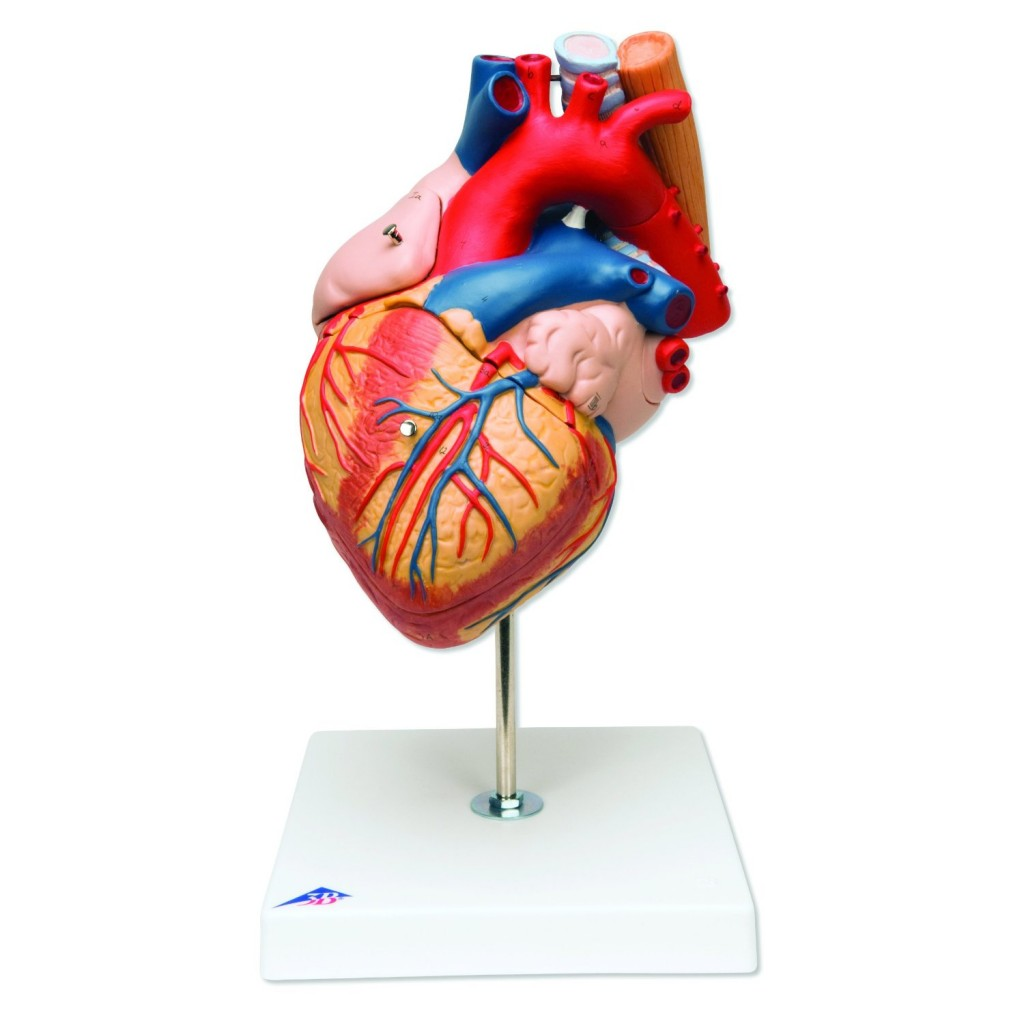 Heart with Esophagus and Trachea Model