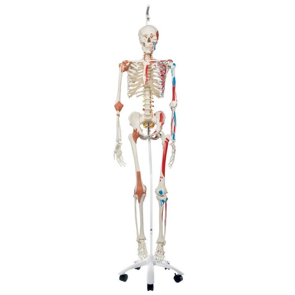 Human Skeleton Model for Med Students