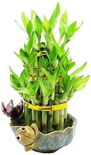 Cute Lucky Bamboo